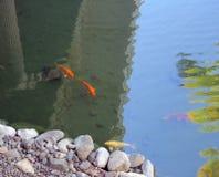 Dekorativa Koi Fish Fotografering för Bildbyråer