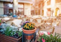 Dekorativa krysantemumblommor i den bruna krukan på det utomhus- gatakafét för suddig bakgrund på gryning Royaltyfria Bilder