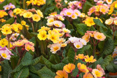 Dekorativa multicolour blomma blommor Primel Peach Melba för vår primrose Royaltyfri Bild