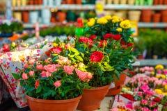 Dekorativa rosor av olika färger i blomkrukor royaltyfri bild