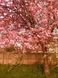 Dekorativa träd med rosa blommor Fotografering för Bildbyråer