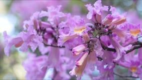 Dekorativa träd med rosa blommor arkivfilmer