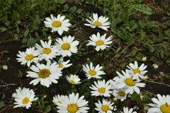 Dekorativa trädgårdblommor i sommarträdgården royaltyfri fotografi