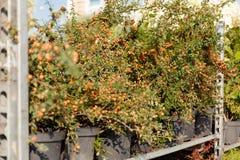 Dekorativa trädgårdväxter, gröna naturblommor i kruka fotografering för bildbyråer