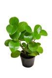 Dekorativa växter Arkivfoton