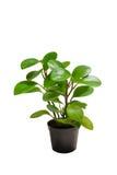 Dekorativa växter Arkivbilder