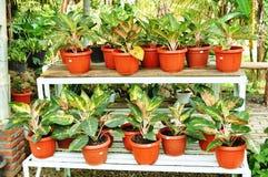 dekorativa växter shoppar Arkivfoto