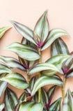 Dekorativa växter, silvertumväxt, irrande jew (Tradescanti arkivbilder