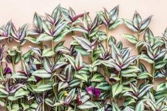 Dekorativa växter, silvertumväxt, irrande jew (Tradescanti royaltyfri bild