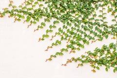 Dekorativa växter som kryper fikonträdvinrankan på en cementvägg Arkivfoton