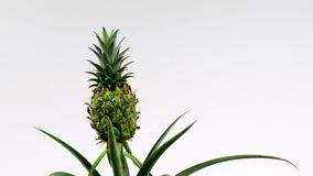 Dekorative Ananasanlage stock video footage