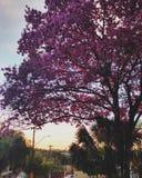 Dekorative Bäume mit rosa Blumen Lizenzfreies Stockbild