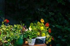 Dekorative bebaute Blumen beleuchteten mit der Sommersonne Stockfotos