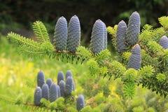 Dekorative blaue Kegel eines Tannenbaums Stockfotos