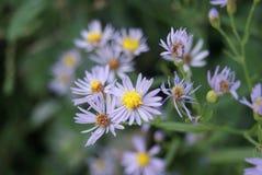 Dekorative Gartenpflanze mit purpurroten Blumen Lizenzfreie Stockbilder