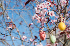 Dekorative Ostereier, die an Kirschblüte hängen, verzweigen sich mit zarter Blüte, heller blauer Himmel, Sonnenlicht Stockfotos