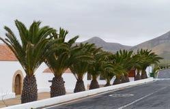 Dekorative Palmen auf der Insel Fuerteventura Lizenzfreies Stockbild