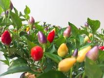 Dekorative Peperoni im Topf stockbilder