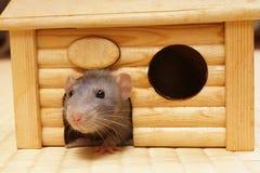 Dekorative Ratte Stockfotos