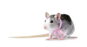Dekorative Ratte mit dem rosafarbenen Farbband getrennt auf Weiß Stockfotos