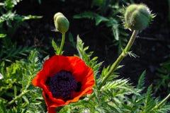 Dekorative rote Mohnblume mit den grünen Knospen im Laub stockfotos