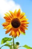 Dekorative Sonnenblume Lizenzfreie Stockfotos