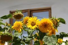 Dekorative Sonnenblume Lizenzfreies Stockfoto