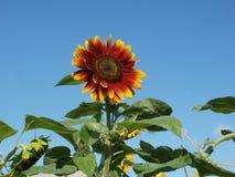 Dekorative Sonnenblume Lizenzfreie Stockbilder