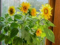 Dekorative Sonnenblumen auf einem Hintergrund des Fensters Lizenzfreie Stockbilder
