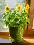 Dekorative Sonnenblumen in einem Blumentopf auf einem Fensterbrett Lizenzfreies Stockfoto