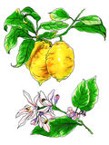 Dekorative tropische Zitronenzitrusfruchtblumen in der Blüte Stockfotografie