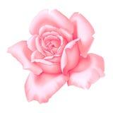 Dekorative Weinleseillustration der Rosen-Rosablume lokalisiert auf weißem Hintergrund lizenzfreie abbildung