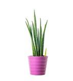 Dekorative Zimmerpflanze Lizenzfreies Stockfoto