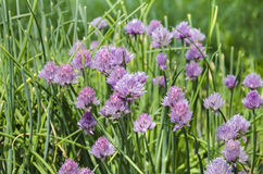 Dekorative Zwiebel der schönen Blume Lizenzfreie Stockfotos