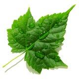 Dekorativer Ahorn des grünen Blattes mit Tropfen des Taus Lizenzfreie Stockfotografie