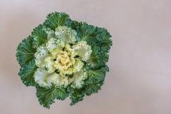 Dekorativer Blumenkohl Stockbild