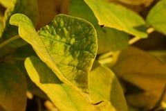 Dekorativer breitblättriger Baum Ods des halb gelben halben grünen Blattes während der Herbstsaison Stockbild