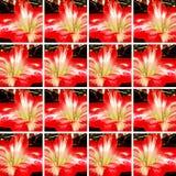 Dekorativer Hintergrund mit roter und weißer Amaryllis-Blume Stockfotografie