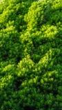 Dekorativer immergrüner Koniferenbaumhintergrund lizenzfreies stockbild