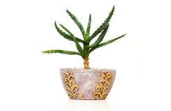 dekorativer Kaktus Stockfoto