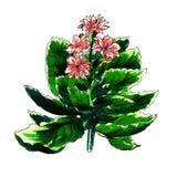 Dekorativer Kalanchoe-Kaktus Lizenzfreie Stockbilder