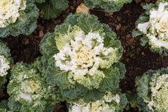 Dekorativer Kohl (Brassica Oleracea Stockbilder