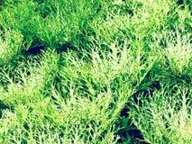 Dekorativer Kohl oder dekorativer Kohl des Kohls Lizenzfreie Stockfotos