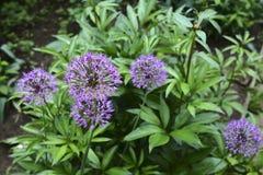 Dekorativer purpurroter Knoblauch stockfotografie