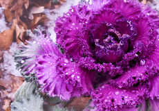 Dekorativer purpurroter Kohl Lizenzfreies Stockfoto