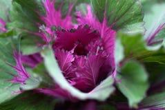 Dekorativer purpurroter Kohl lizenzfreie stockfotografie