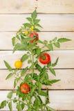 Dekorativer Tomatenbaum auf hellem hölzernem Hintergrund Stockbilder