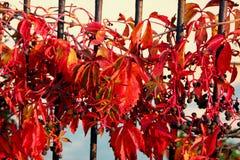 Dekorativer Wein auf dem Zaun stockfotografie