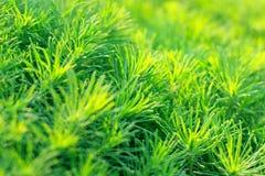Dekoratives beständiges Gras des Gartens im Sonnenlicht Stockbild