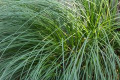 Dekoratives Gartengras lizenzfreies stockfoto